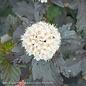 #1 Physocarpus op Diabolo/Ninebark
