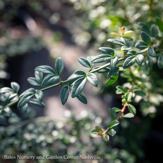 #3 Jasminum nudiflorum/Winter Jasmine