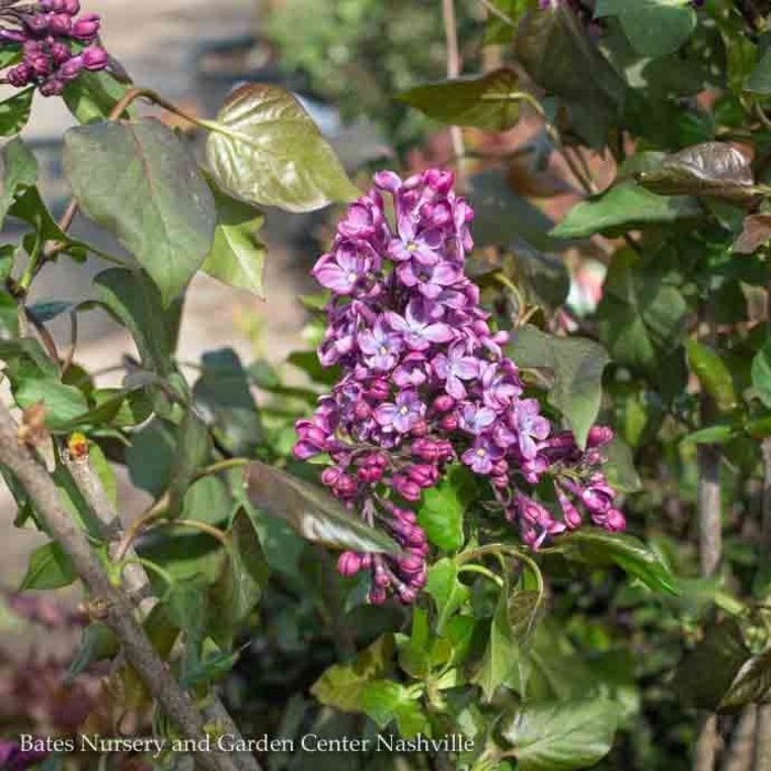 #5 Syringa x Old Glory/Lilac bluish-purple