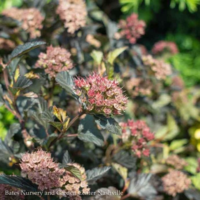 #2 Physocarpus Petite Plum/Ninebark