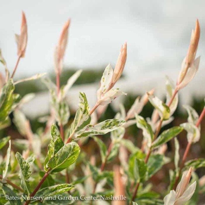 #5 Salix integra Flamingo/Dappled Willow Variegated
