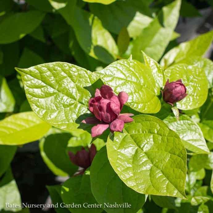 #3 Calycanthus fl Aphrodite/Allspice Sweetshrub