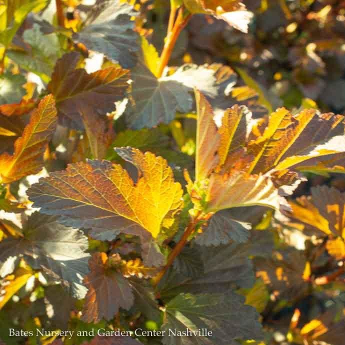 #3 Physocarpus Center Glow/Ninebark