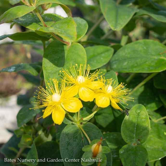 #2 Hypericum Floralberry Pinot/St. John's Wort