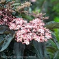 #3 Sambucus Black Tower/Elderberry Columnar
