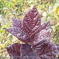 #3 Calycanthus fl Burgundy Spice/Allspice Sweetshrub