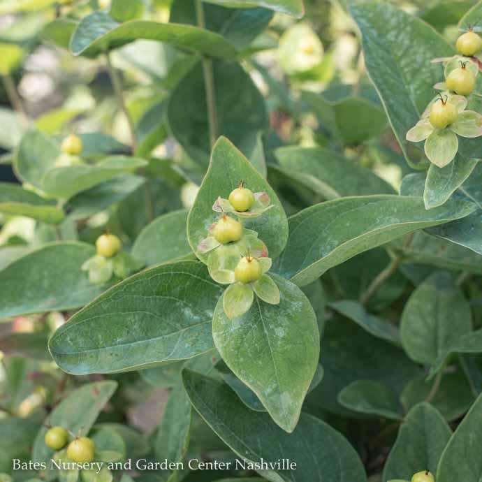 #1 Hypericum Floralberry Champagne/St. John's Wort