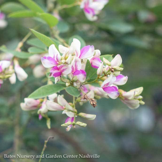 #3 Lespedeza bicolor Yakushima/Dwarf