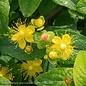 #1 Hypericum Floralberry Pinot/St. John's Wort