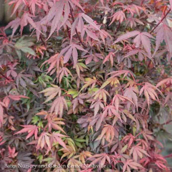 #5 Acer pal Shaina/Japanese Maple Dwarf Red Upright