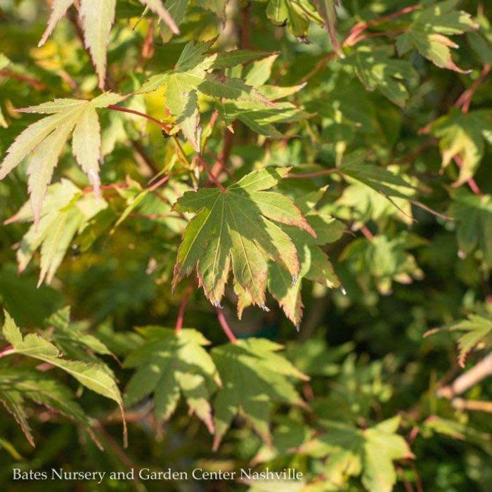 #6 Acer pal Tobiosho/Japanese Maple Green Upright