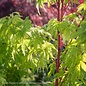 #10 Acer pal Sango Kaku/Coral Bark Japanese Maple Yellow Upright