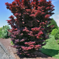 #15 Acer pal Twombly's Red Sentinel/Japanese Maple Red Upright