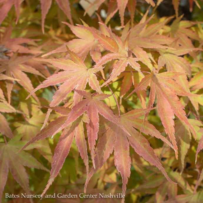 #6 Acer pal Arakawa/Rough Bark Japanese Maple Green Upright