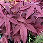 #3 Acer pal Rhode Island Red/Japanese Maple Red Dwarf