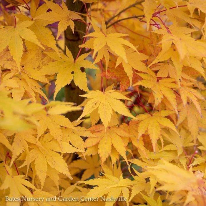 #6 Acer pal Sango Kaku/Coral Bark Japanese Maple Yellow Upright