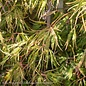 #15 BOX Acer pal var diss Spring Delight/Japanese Maple Threadleaf Green Weeping