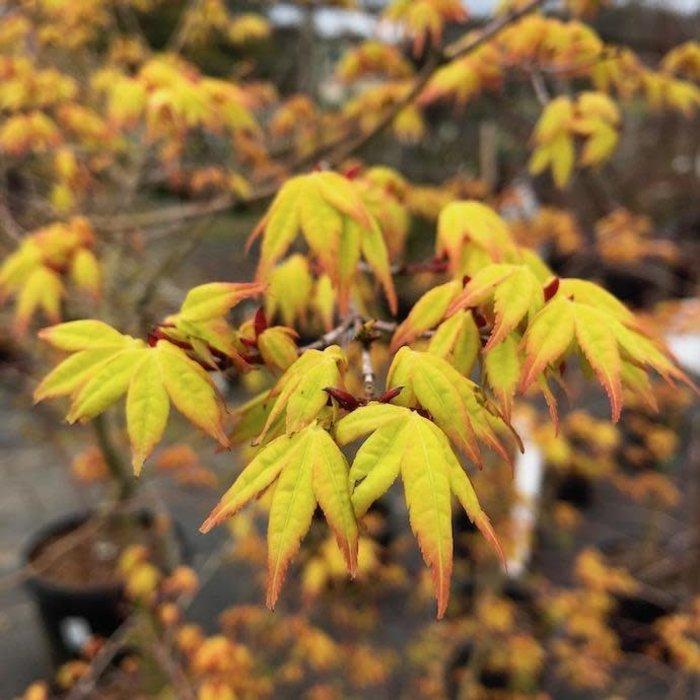#15 Acer pal Calico/Japanese Maple