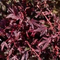 #6 Acer pal Hime Shojo/Dwarf Red Japanese Maple