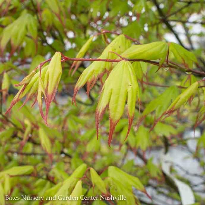 #20 BOX Acer pal Tsuma Gaki/Japanese Maple Green (Red Tips) Upright