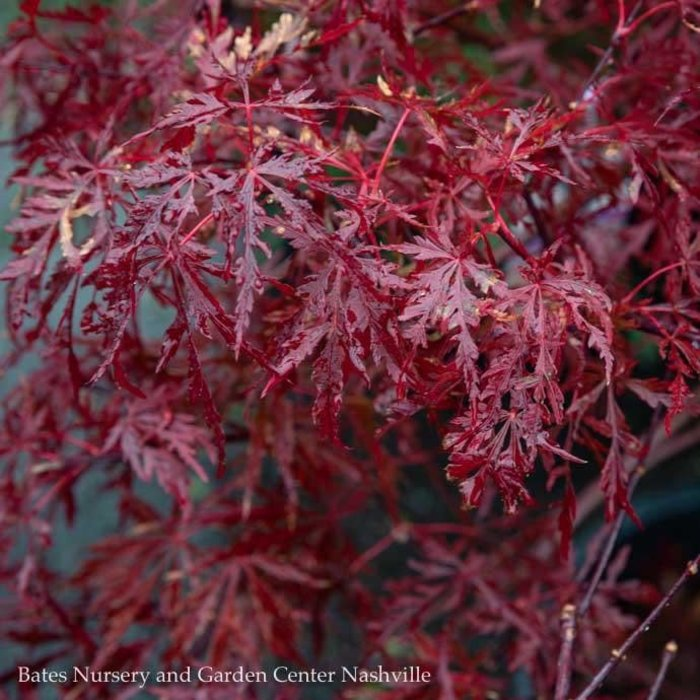 #5 High Graft Acer pal var diss Red Dragon /Japanese Maple Red Dwarf Weeping