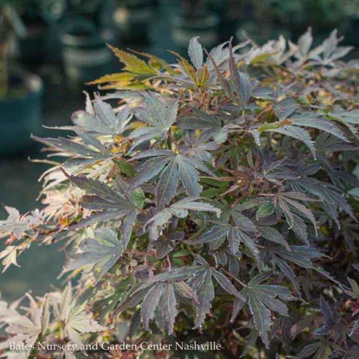 #10 Acer pal Carlis Corner/Japanese Maple Red Dwarf