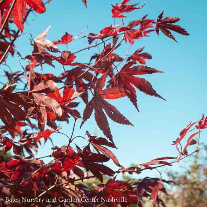 #5 Acer palmatum 'Fireglow'/Japanese Maple