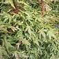 #6 Acer pal Ryugu/Japanese Maple Dwarf Green Upright