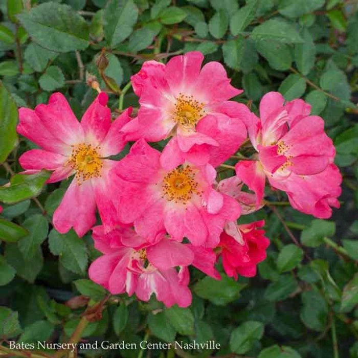 #3 Rosa /Drift Shrub Rose Assorted   NO WARRANTY