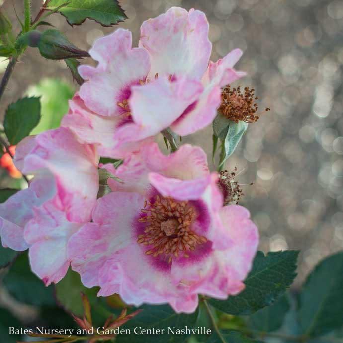 #3 Rosa In Your Eyes/Shrub Rose