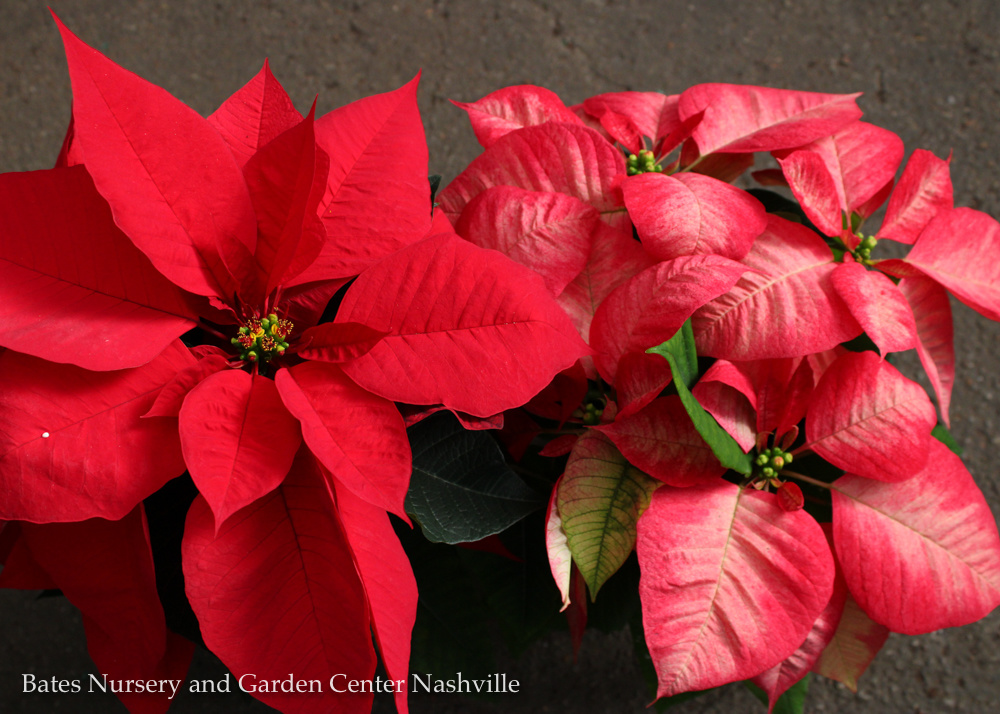 10 Facts About Poinsettias That You May Not Know
