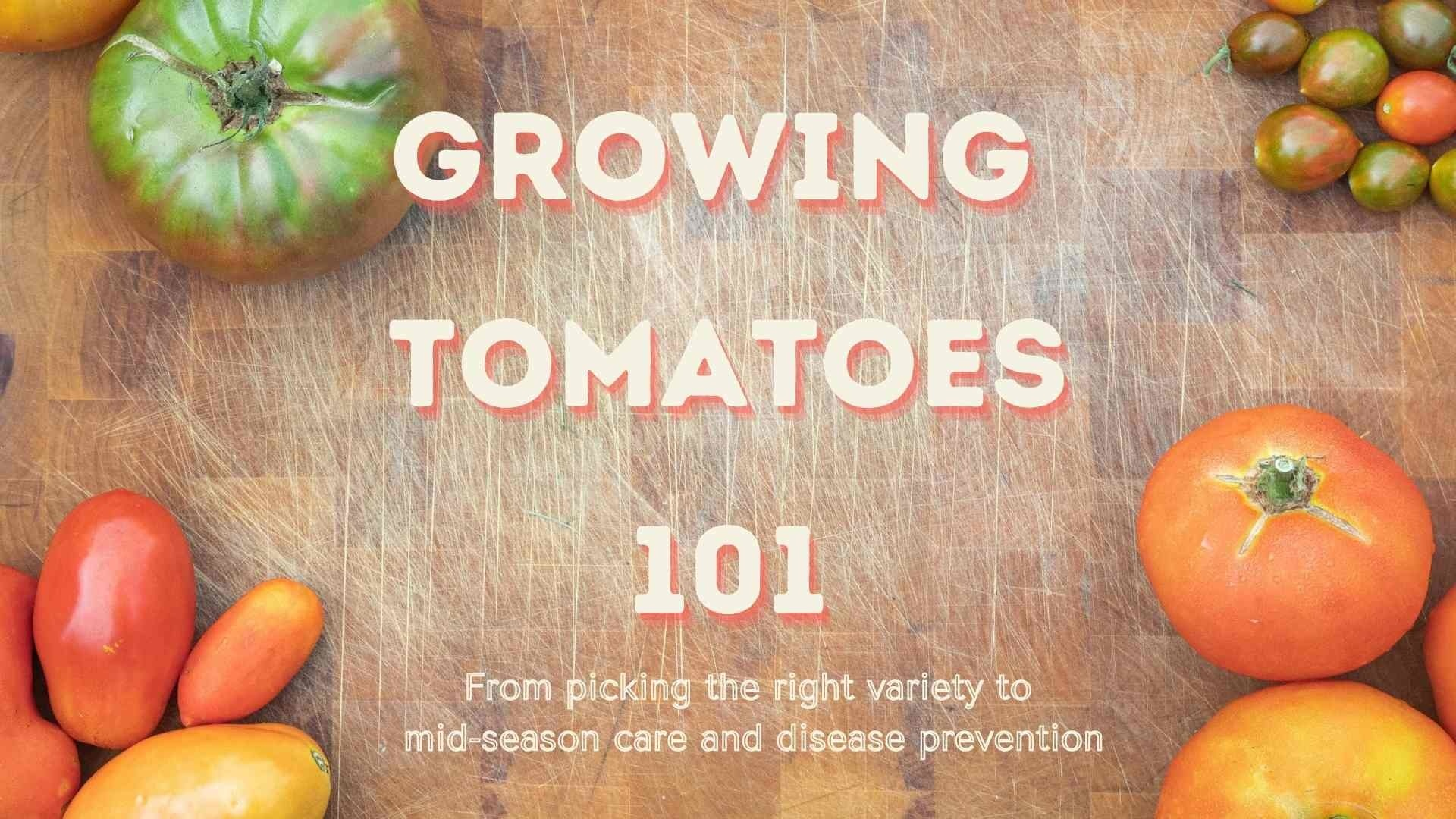 Growing Tomatoes 101: From Picking the Right Variety to Mid-Season Care