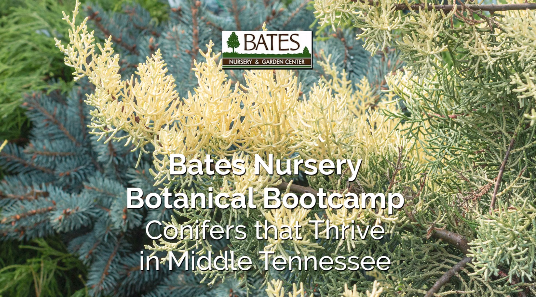 Conifers That Thrive in Middle Tennessee