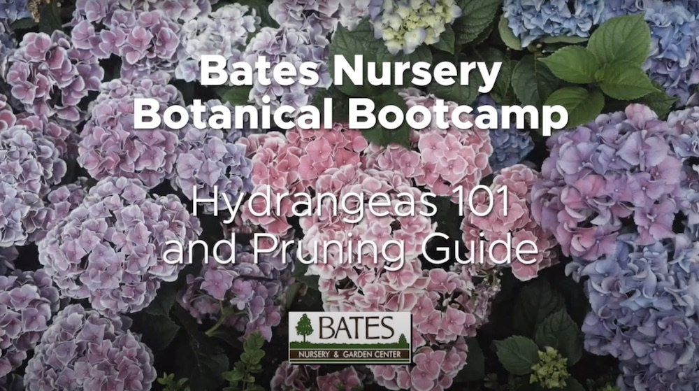 Hydrangeas 101: Care & Pruning Techniques
