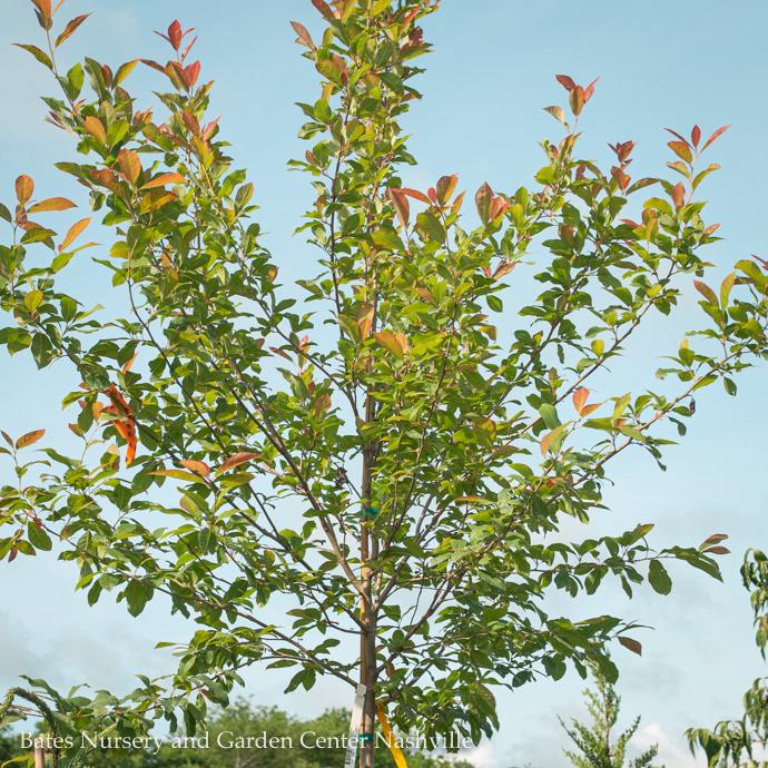 Miscellaneous Deciduous Trees