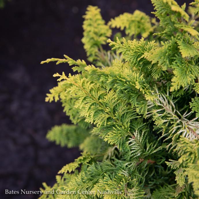 Hinoki Cypress (Chamaecyparis)