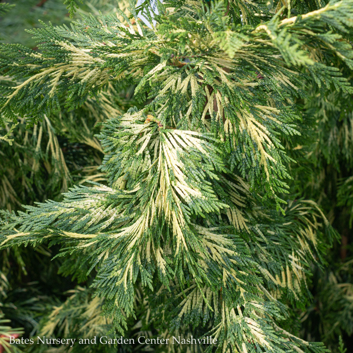 Miscellaneous Large Conifer Trees