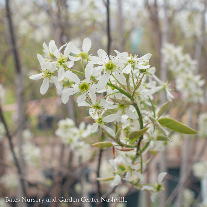Miscellaneous Flowering Trees