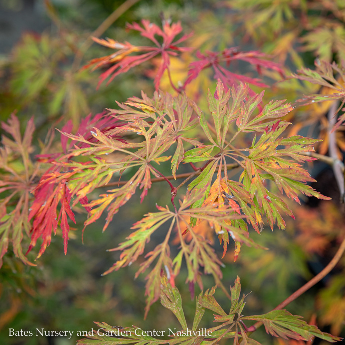 Miscellaneous Japanese Maples