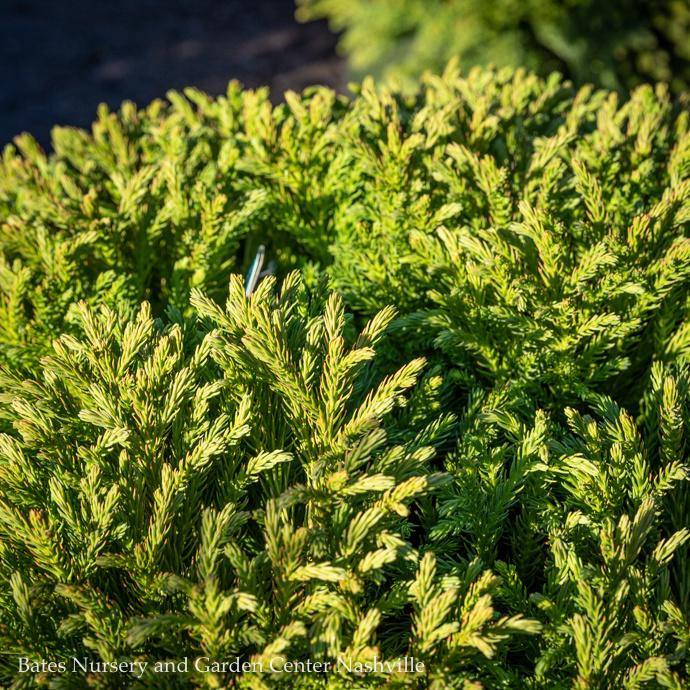Japanese Cedar (Cryptomeria)