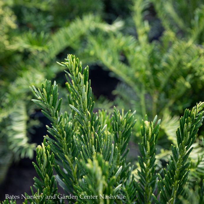 Japanese Plum Yew (Cephalotaxus)