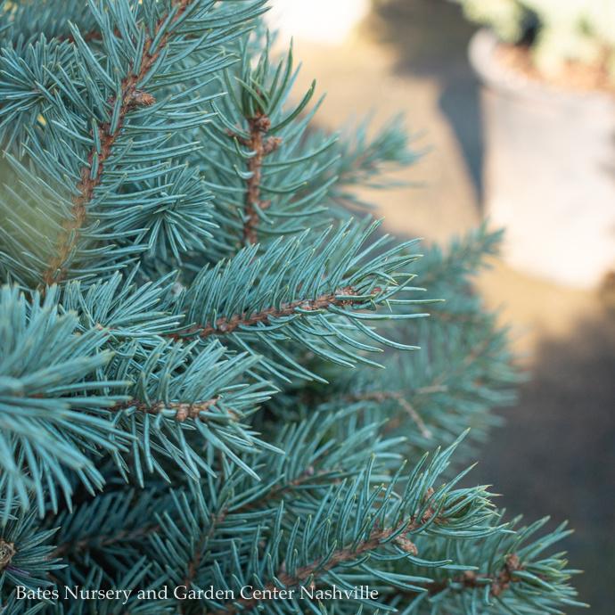 Spruce (Picea)