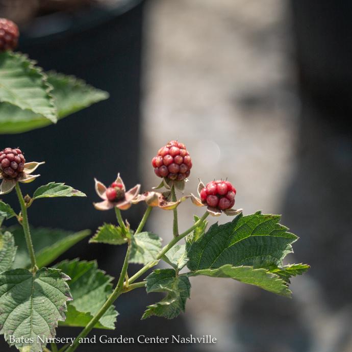 Blackberry (Rubus)