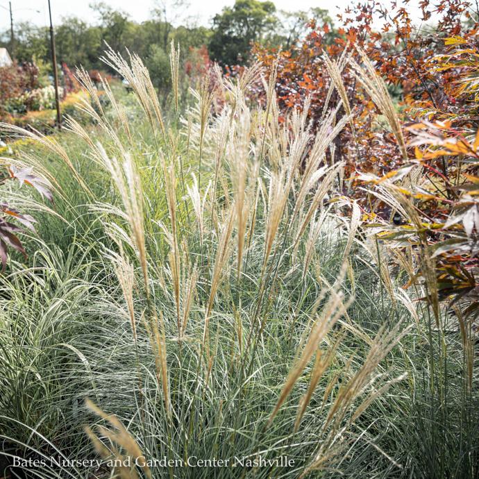 Miscanthus (Maiden Grass)