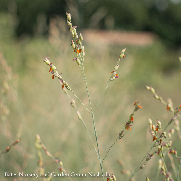 Panicum (Switchgrass)