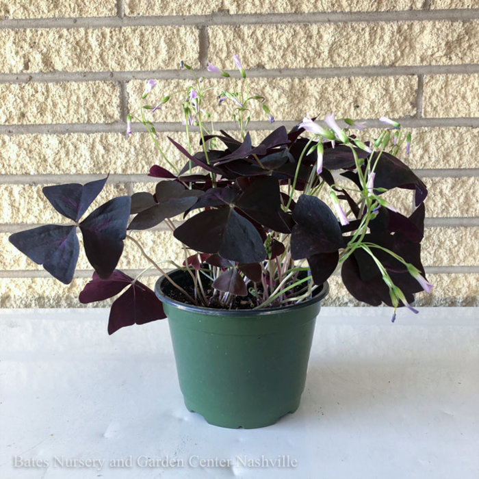6p! Oxalis /Shamrock Lavender Flowers /Tropical
