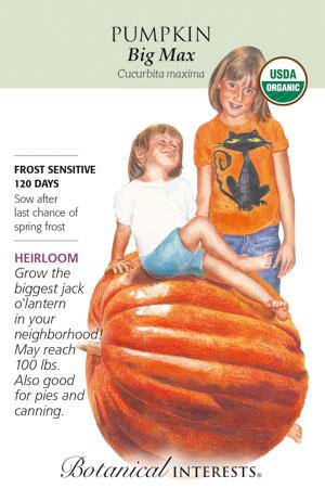Seed Pumpkin Big Max Organic Heirloom - Cucurbita maxima