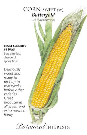 Seed Corn Sweet Buttergold - Zea mays (hybrid)