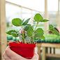 Edible 4 inch Pot Strawberry