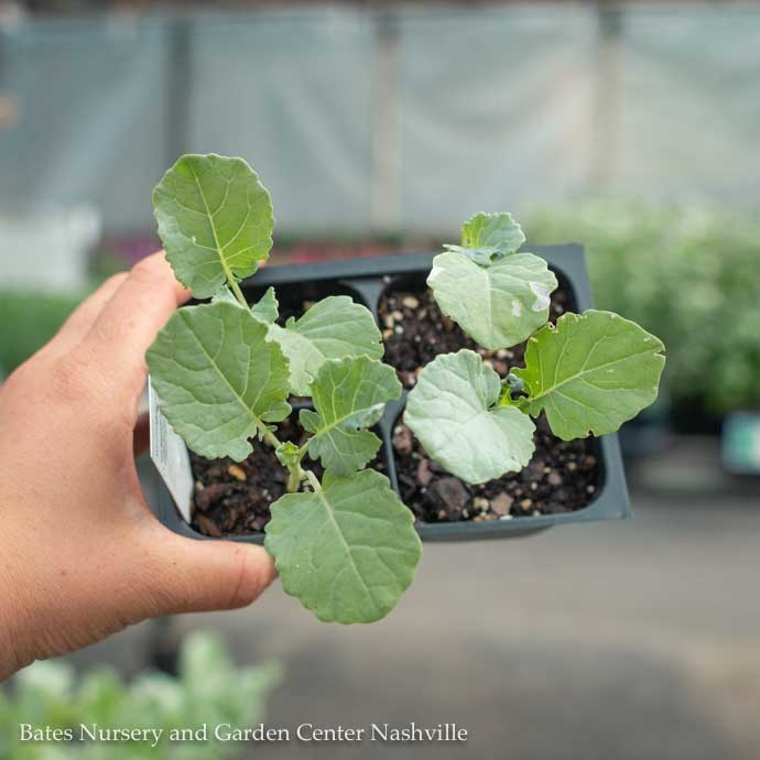 Edible 4-PACK Vegetable Broccoli